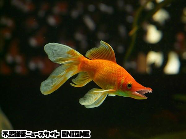 モウキンガ(バラクーダ金魚)