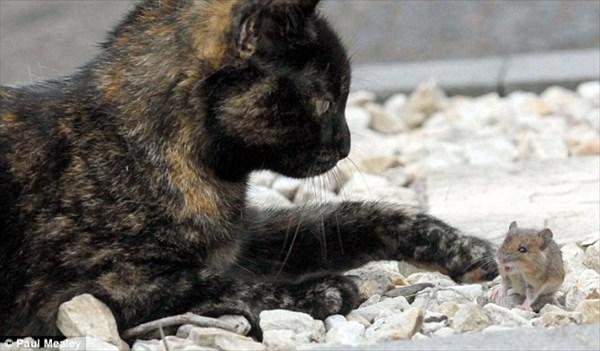 トムとジェリー!? 仲が良すぎる猫と野ネズミ、20分にもわたって遊び合う