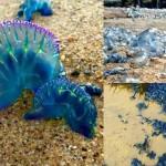 オーストラリア各地のビーチにカツオノエボシ大量上陸! 刺されると命の危険も