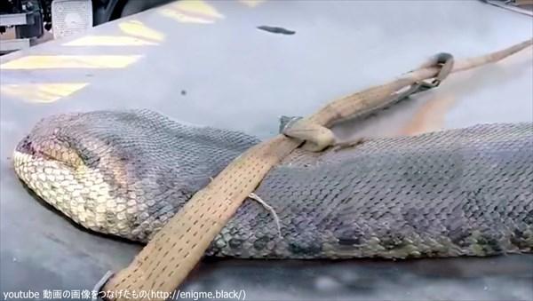 世界最大のヘビ発見か!? 超巨大ヘビが捕獲される