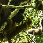 オランウータンが肉食化!? リスを食べるボルネオ島のオランウータン