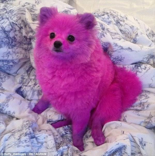 パリのモデルが愛犬のポメラニアンをピンクに染める! 当然、動物愛好家は激怒