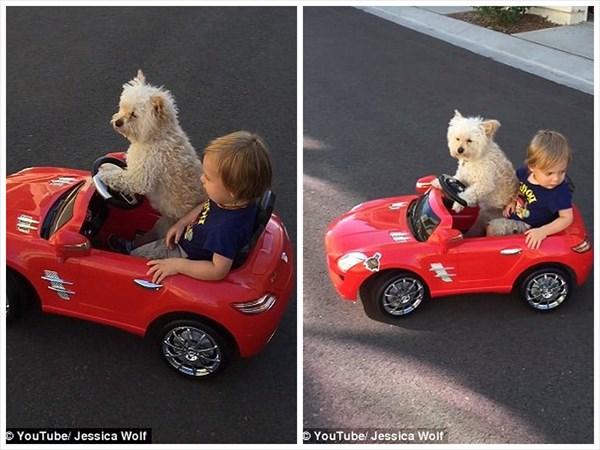 見事なハンドルさばき! オモチャの車を運転する犬のデイジー!