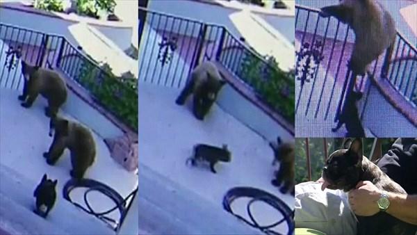 小さくても勇敢な番犬! クマを撃退するフレンチ・ブルドッグ
