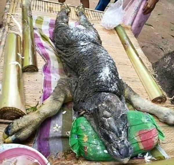 ワニと水牛のハイブリッド!? タイの村で水牛から生まれた謎の生物!