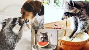 犬と一緒に育てられたアライグマのパンプキン! 犬と仲良しでスイカが大好物!