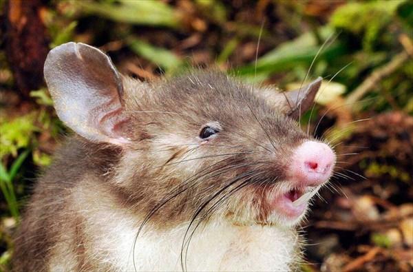 ネズミなのにブタ? 新種のネズミ「ブタバナトガリネズミ」インドネシアで発見