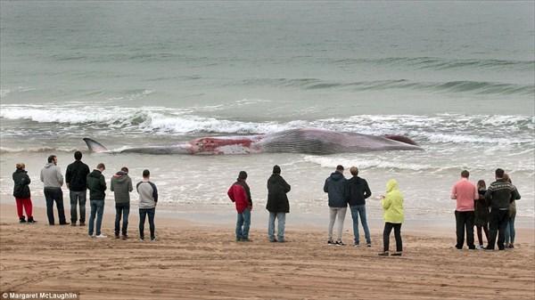 爆発する前に地中に埋めろ! パンッパンに膨張したイワシクジラの死骸!!