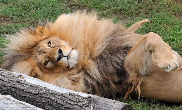 まさに王者の風格! タテガミがフサフサ過ぎるライオン チェコでスター的人気