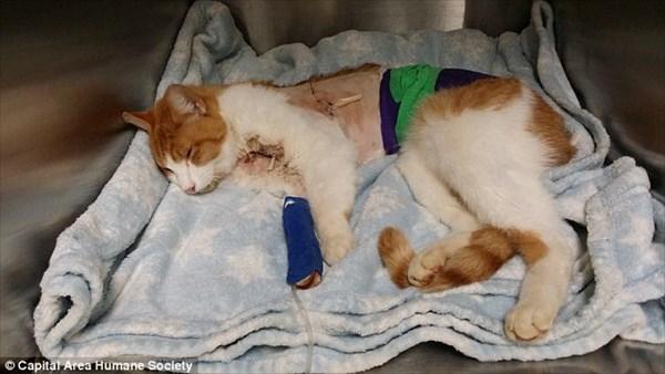 矢が体を貫通した猫が発見される! 手術は成功するも予断を許さない状態