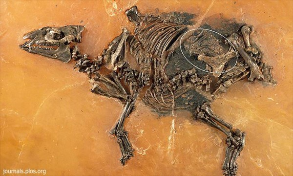 4800万年前のほぼ完全な馬の化石発見! しかも子宮には胎児が入っている!