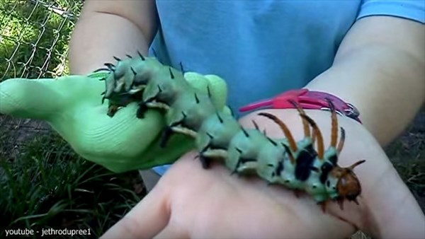北米大陸最大の蛾の幼虫「ヒッコリー・ホーンド・デビル」を愛でる女性!