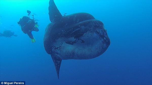 ポルトガルの海で巨大マンボウ出現! デカいけど全然怖くない!