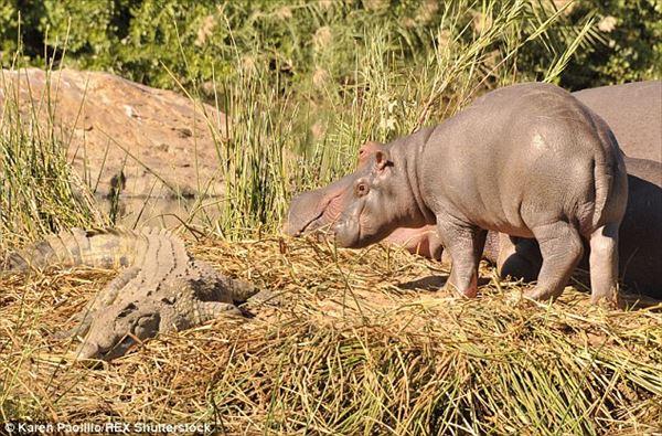 怖いもの無しか! 11ヶ月のカバのジョージ、ふざけてワニに噛み付く!