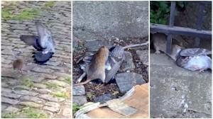 ネズミVSハト ハトとの戦いに勝利したネズミ、ハトを草やぶにテイクアウト