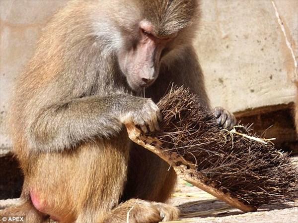 猿だって歯が命! ブラシの毛を使って糸ようじ(フロス)をするマントヒヒ