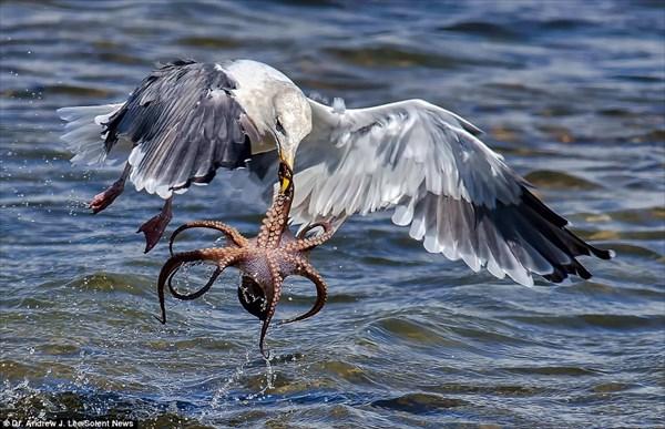 カモメVSタコ タコを水面から引きずり出すカモメの優れたハンティングを撮影