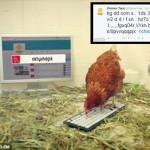 Twitterをする世界初のニワトリ「ベティ」 ギネス記録ために現在挑戦中