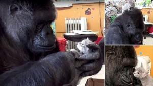 手話でコミュニケーションができるゴリラのココ 誕生日に子猫を家族にする!