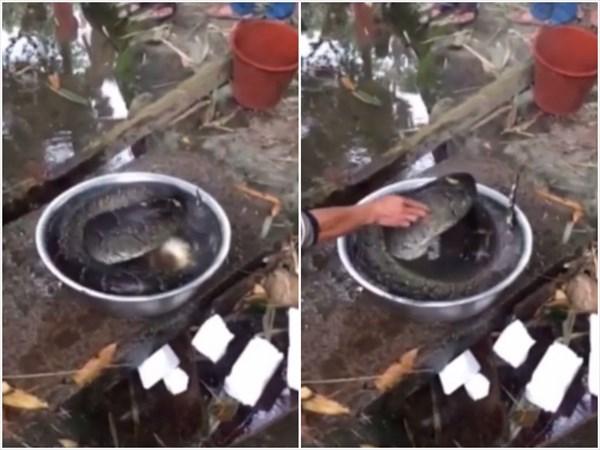 料理のため頭を切り落とされたニシキヘビ 頭がないのに鍋から脱出を試みる!