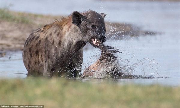 腐ったお肉だってへっちゃら! 沼地に保管していたゾウのお肉を食べるハイエナ