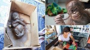 痛々しい状況で保護された赤ちゃんオランウータン 懸命な治療で回復中