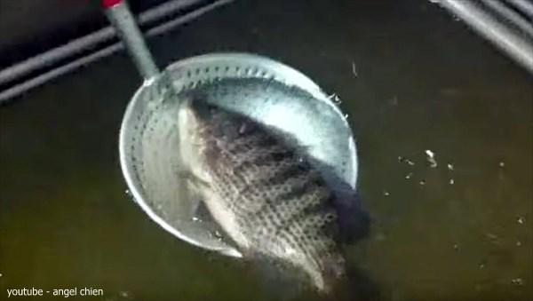 凍った魚が復活! マイナス35度で冷凍されカチカチになった魚を生き返す!