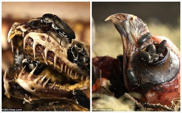虫がうじゃうじゃ! 標本作りで活躍するカツオブシムシによる生物分解!