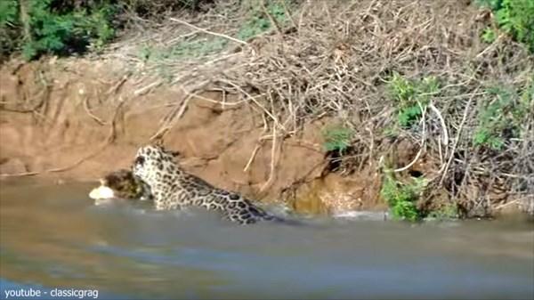 ジャガーVSワニ 自分とさほど変わらないカイマンを狩るパワフルジャガー
