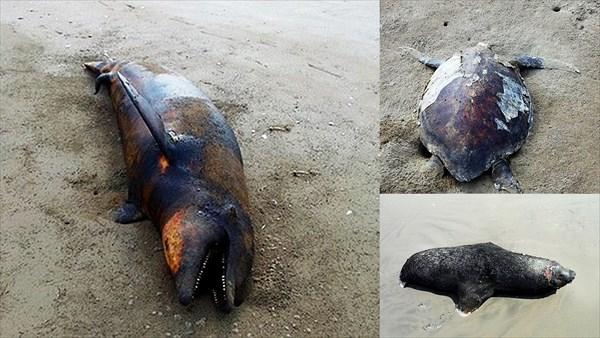 謎の病原体か? メキシコ西海岸のビーチでイルカやカメなど海洋生物が大量漂着