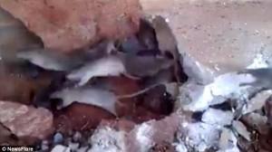 ネズミパニック!! 古い建物の改修工事中、床下から大量に飛び出すネズミ!