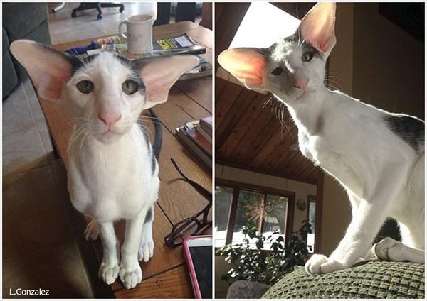 ハリーポッターのドビーにソックリな猫のテディ ネットで話題に!