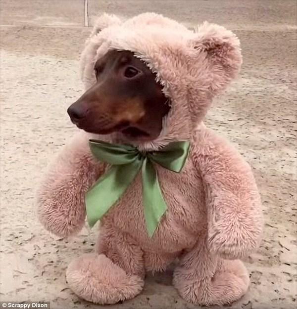 「僕の名はダクシーベア!テディベアの衣装で変身だ」可愛すぎるダックスフント