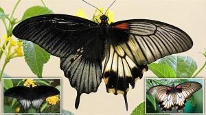 左半身がオス、右半身がメスに分かれた超レアな蝶(ナガサキアゲハ)見つかる!