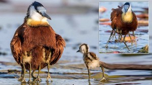足がいっぱいある鳥? 実は、子どもを守るアフリカレンカクのイクメンパパ!