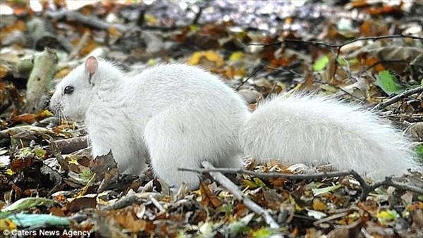 白変個体(アルビノでは無い)とみられる真っ白なリスがイギリスで発見される!