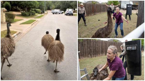 脱走エミュー4羽がテキサス州で大暴走! 警察は「奴らは非常に危険だ」と警告
