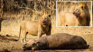 「カバ最強説?ふざけるな!最強は俺だ!」今日のお昼はカバ!百獣の王ライオン