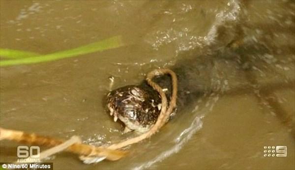 人間も食った!重さ1トン全長5.2メートルの怪物ワニ「T-REX」を捕獲!