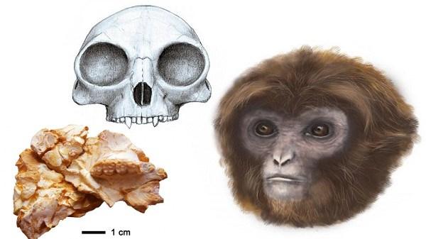 新たな人類の祖先が発見される! 1160万年前の化石で、全ての類人猿の祖先