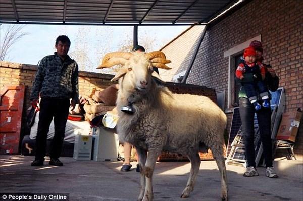 カッケェー! 中国で6本角のヒツジが生まれる!