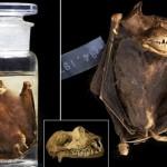 博物館に30年前から保管されていたビンの中から、新種のコウモリが見つかる!