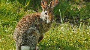 ジャッカロープ(ツノウサギ)