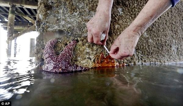 太平洋沿岸のヒトデが自分自身の体を食べて自殺! 大量死の原因はウィルス!?