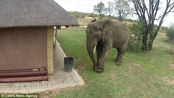 誰だポイ捨てしたヤツは! 落ちていた空き缶をゴミ箱に捨てる野生のゾウ!