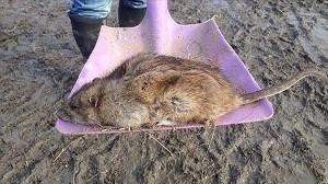 毒(殺鼠剤)に耐性を持つ猫サイズの重量級ネズミ イギリスを侵略中!