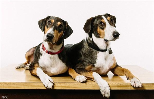 年老いた愛犬のクローン犬2匹を1200万円かけて製作した獣医