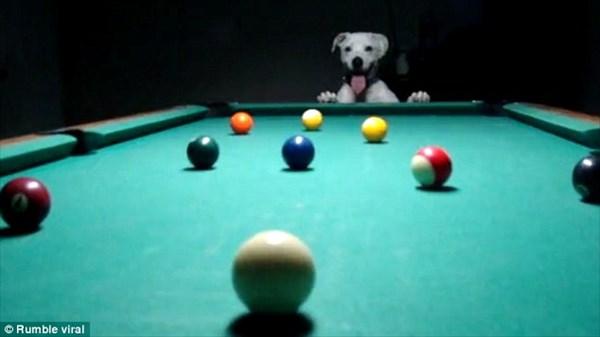 トリックショット! 凄腕ビリヤードを披露する犬のハロくん!!