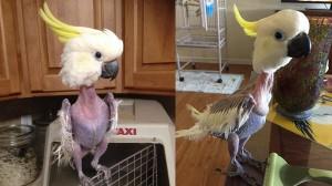 ストレスで自らの羽をむしってしまったオウム 救出され第二の人生を歩むことに