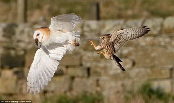 激しい空中戦! 獲物をめぐるメンフクロウとハヤブサ(チョウゲンボウ)の戦い